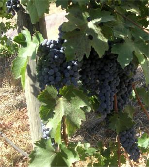 grapes_conn_valley_vineyard.jpg